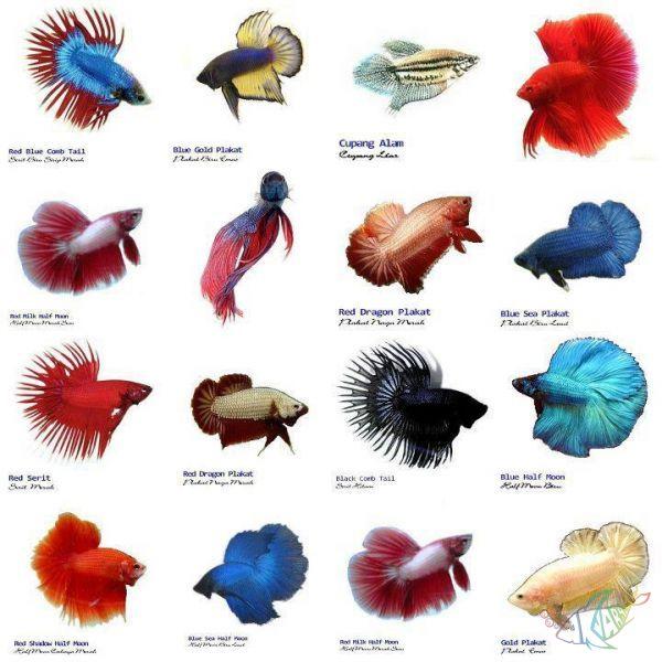 Как развести рыбу в домашних условиях петушки