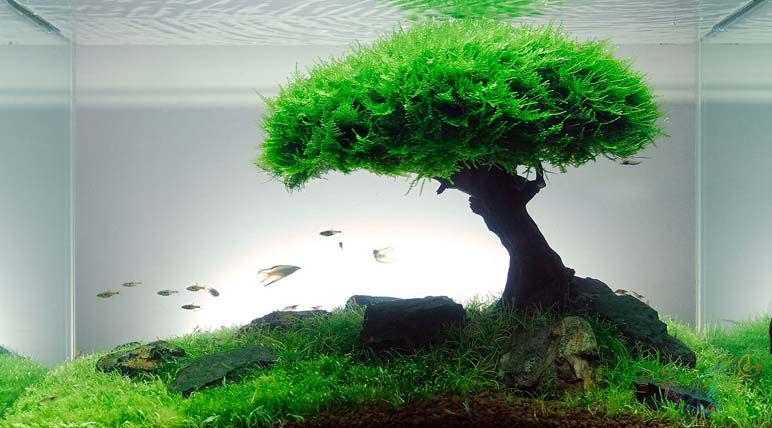 Carpet Aquarium Plants Images Small Home Garden Decoration Ideas Sha