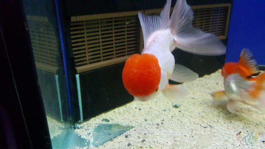 Oranda goldfish eggs