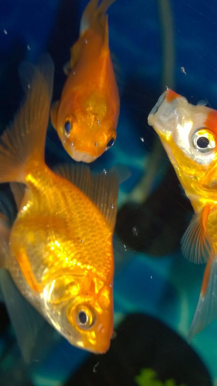 Bir ev akvaryumda balık kardinaller