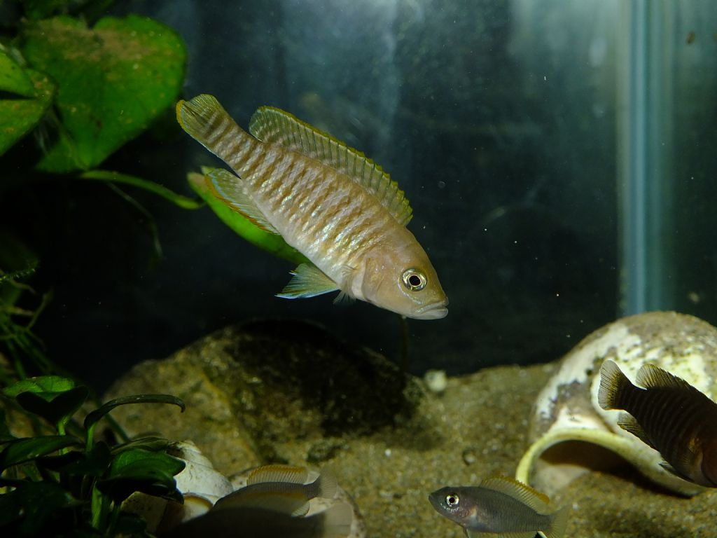 Cichlid forum greetings from turkey greetings from turkey m4hsunfo